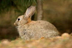 Wild Rabbit. Formby UK wildlife pine woods fur ears Royalty Free Stock Images