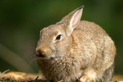 Wild Rabbit. Formby UK wildlife pine woods fur ears Stock Photos