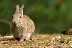 Wild Rabbit. Formby UK wildlife pine woods fur ears Royalty Free Stock Image