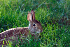 Wild rabbit in the grass. This is a wild Cottontail rabbit photograph in the grass. It is back-lightened with brilliant eyes and cute face Royalty Free Stock Photography