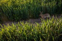 Wild rabbit. In the grass stock image