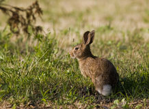 Wild Rabbit in Grass. Common wild brown rabbit or hare standing in the grass stock photos