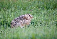 Wild rabbit in grass Royalty Free Stock Photo