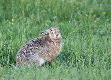 Wild rabbit in grass Royalty Free Stock Photo