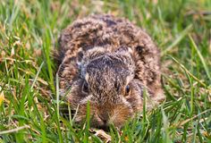Easter rabbit in the grass. Baby wild rabbit in the grass Stock Photography