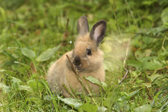 Wild rabbit in grass. Ginger wild rabbit in grass Stock Images