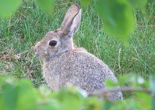 Wild rabbit in grass. Wild rabbit keeping still in grassy lawn area Stock Photo