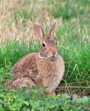 Wild rabbit in grass. Watching Stock Image