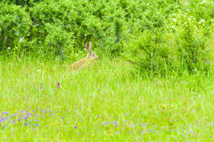 A wild rabbit in the grass. And the woods behind it Stock Photos