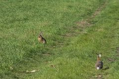 Wild rabbit on green grass. Wild rabbit on the green grass Stock Images
