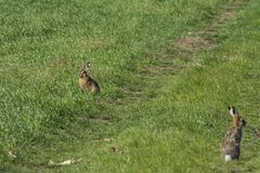 Wild rabbit on green grass. Wild rabbit on the green grass Stock Photos