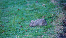 Wild Rabbit. On a green grass Royalty Free Stock Images