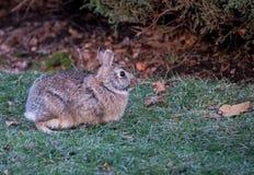 Wild Rabbit. On a green grass Royalty Free Stock Photo