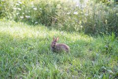 Wild rabbit in green grass. Wild rabbit on green grass in park in Toronto, Ontario, Canada, summer time Stock Images