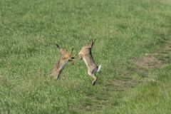 Wild rabbit on green grass. Wild rabbit on the green grass Royalty Free Stock Images