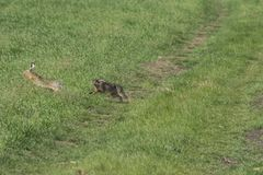 Wild rabbit on green grass. Wild rabbit on the green grass Stock Image