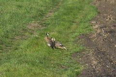 Wild rabbit on green grass. Wild rabbit on the green grass Stock Photography