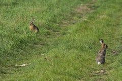 Wild rabbit on green grass. Wild rabbit on the green grass Royalty Free Stock Photography