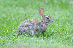Wild rabbit in the green  meadow yard Royalty Free Stock Photos