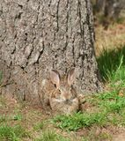 Wild Rabbit with a Grin. Wild rabbit camouflaged against brown tree with a grin on it`s face royalty free stock photos