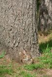 Wild Rabbit with a Grin. Relaxing against tree. Camouflaged stock photography