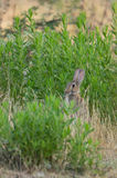 Wild Rabbit hiding behind bushes. A Wild Rabbit - Oryctolagus cuniculus - feeding on wild herbs and hiding behind green bushes in southern Europe Stock Photography