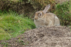 Wild rabbit with illness Stock Photo