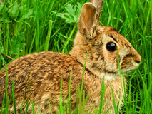 Wild Rabbit. An image of a wild rabbit hidden in the long grass Royalty Free Stock Photos