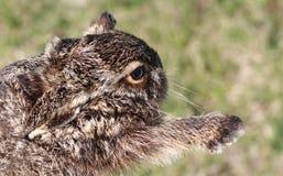 Wild rabbit jump Stock Image