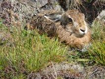 Wild Rabbit. In Knaresborough, England Royalty Free Stock Image