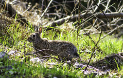 Wild Rabbit. Low angle shot of a young female rabbit Royalty Free Stock Photo