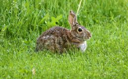 Wild rabbit in Michigan brown bunny Royalty Free Stock Images