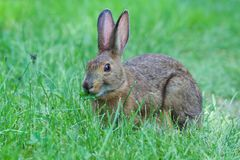 Wild rabbit munching on clover. Wild rabbit munching on clover at a campground in Baxter State Park, Maine, USA royalty free stock image