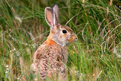 Wild Rabbit in Natural Setting. Cute wild rabbit alert in a natural setting stock images