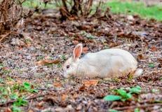 Wild rabbit Royalty Free Stock Photography