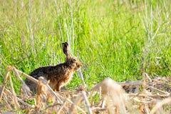 Wild rabbit in nature Stock Images