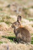 Wild Rabbit Orytolagus cuniculus Sitting Stock Photography