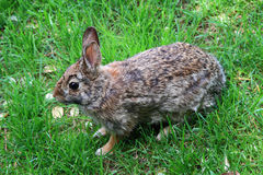 Wild Rabbit. Wild rabbit over the grass looking for direction where to hide Royalty Free Stock Photography