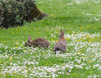 Wild rabbit Stock Photography