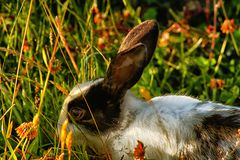 Wild Rabbit. Rabbit resting in the grass black and white Stock Images