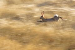 Wild rabbit running Royalty Free Stock Photo