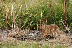 Wild rabbit running through bush. Wild rabbit running through scrub and long grass Royalty Free Stock Images