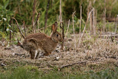Wild rabbit running through bush. Stock Photo