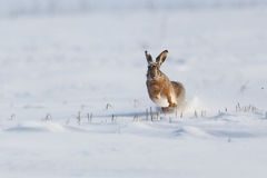 Wild rabbit running in the snow. Black-tailed Jackrabbit running in the snow field near Buzau city,Romania Royalty Free Stock Photo