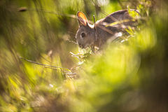 Wild rabbit, Scotland. Cute wild rabbit in a meadow, Scotland Stock Images