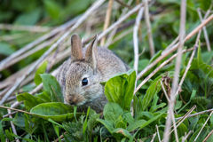 Wild rabbit, Scotland Royalty Free Stock Photo