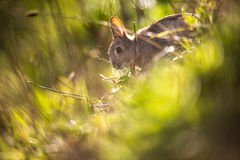 Wild rabbit, Scotland Royalty Free Stock Images