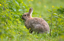 Wild Rabbit Stock Image