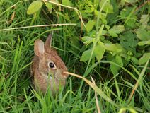 Wild Rabbit. A Wild Rabbit sitting in the grass along the Blue Ridge Parkway in South Carolina, U.S.A royalty free stock images