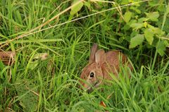 Wild Rabbit. A Wild Rabbit sitting in the grass along the Blue Ridge Parkway in South Carolina, U.S.A royalty free stock photos